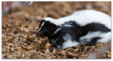 how to get rid of skunk smell on a ask anything skunked