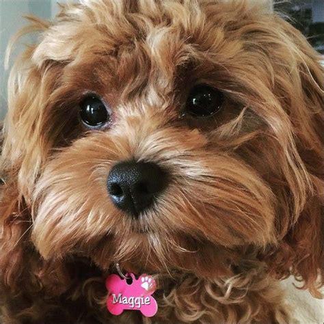 maggie cavoodle    charity calendar dog model