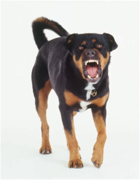 rottweiler aggressive front view of an aggressive rottweiler crossbreed with ferocious expression and teeth
