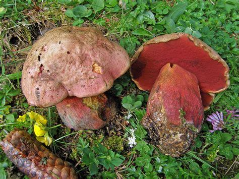 fiori velenosi boletus rubrosanguineus funghi velenosi funghi in
