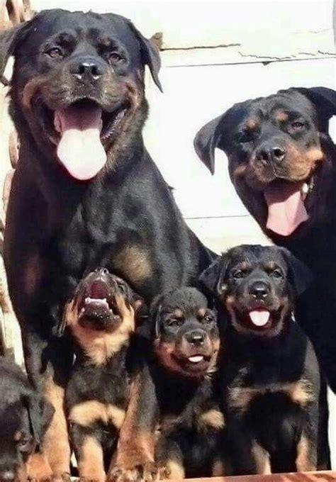 rottweiler allergies 25 best rottweiler puppies ideas on baby rottweiler rottweiler pups and