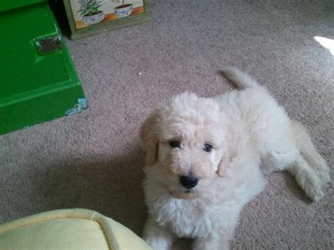 goldendoodle puppy houston goldendoodle puppy peppermint my goldendoodle