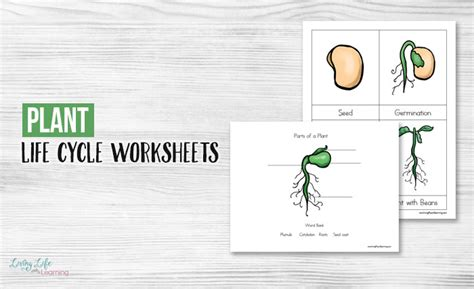 the cycle of a plant worksheet plant cycle worksheets kidz activities