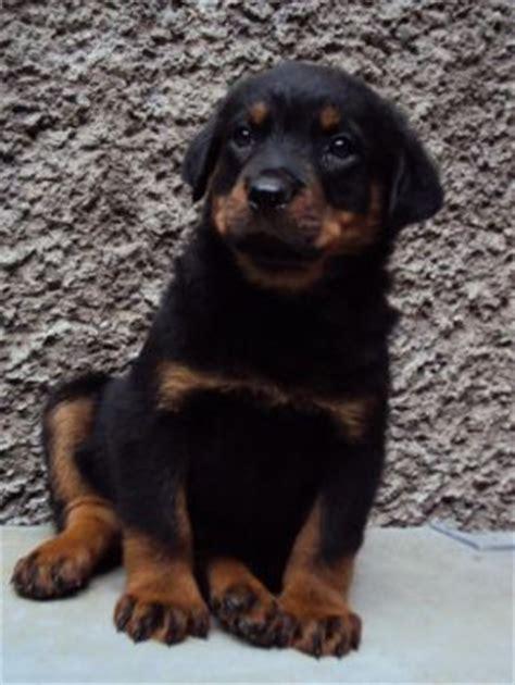 perro rottweiler precio venta de perros rottweiler rottweiler cachorros alemanes