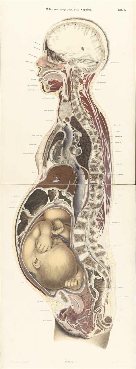 cross section human body historical anatomies on the web wilhelm braune home