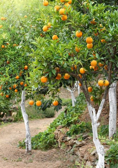 patio orange tree orange trees with fruits growing in orchard garden stock