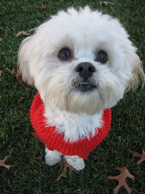 how to cut a shichon s hair 1000 images about shichon on pinterest haircuts sweet