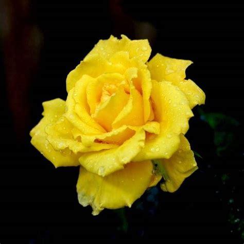 colore fiori rosa colore significato significato fiori significato