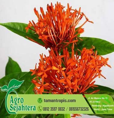 Jual Bibit Bunga Pucuk Merah jual bibit bunga asoka merah