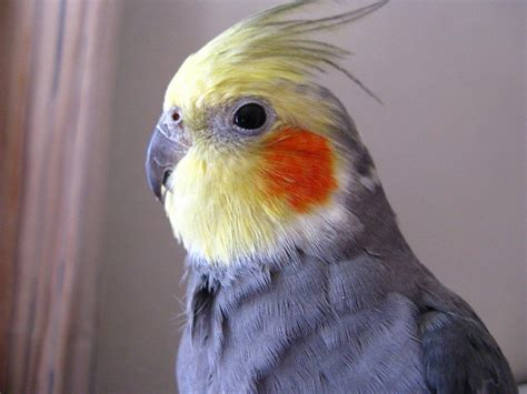 all you want to know about cockatiels as pets pethelpful