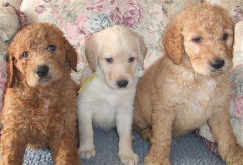 how big will my puppy get calculator puppy growth chart aussiedoodle and labradoodle puppies best labradoodle breeders