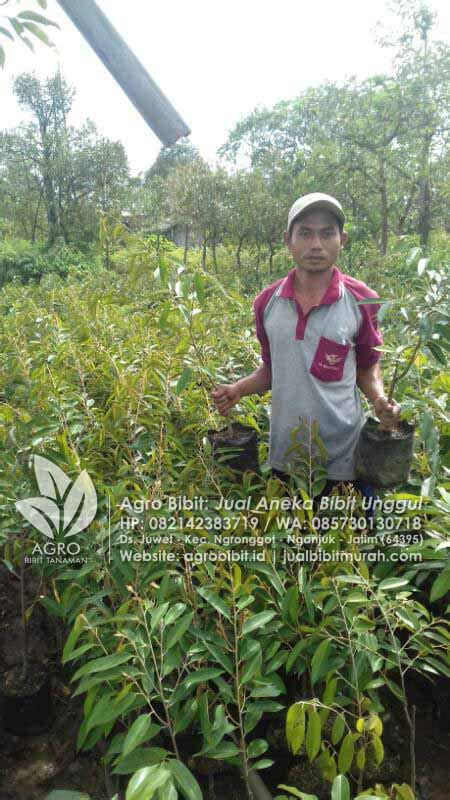 Jual Bibit Pisang Cavendish Jawa Timur kebun bibit durian montong