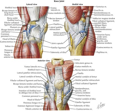 knee anatomy muscles muscles tendons and ligaments of the knee