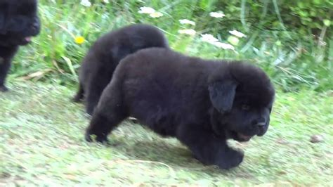 newfoundland puppies newfoundland puppies breeders of simha kennels india