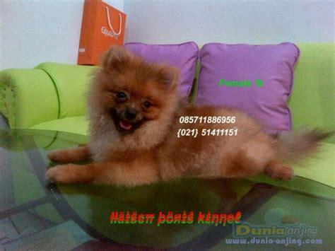 mini pomeranian price dunia anjing jual anjing pomeranian anakan mini pomeranian quality low price