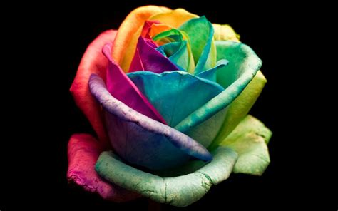 colorful rose wallpaper download wallpapers february 2014