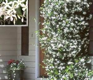 Diy Clematis Trellis Sterjasmijn White Wings Trachelospermum Jasminoides