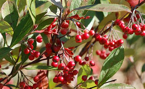 Planting A Garden In The Fall - red chokeberry aronia arbutifolia lam