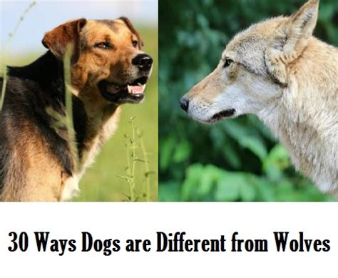 difference between wolves and dogs 30 fascinating differences between wolves and dogs daily discoveries