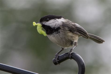 what do chickadees feed their young northwest picturemaker