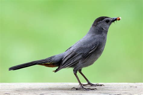 earthamore the gray catbird dumetella carolinensis
