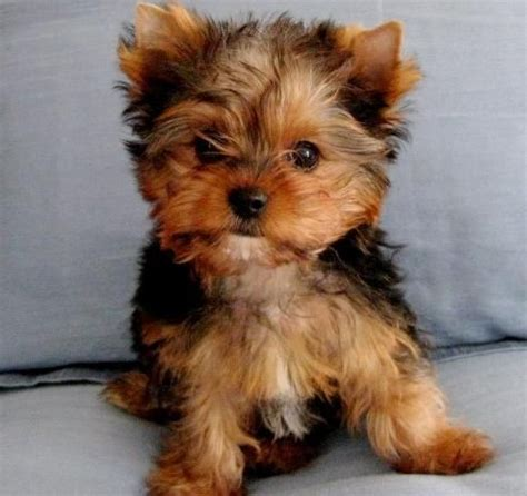 teacup yorkies for adoption in louisiana m 225 s de 1000 ideas sobre yorkie puppies for adoption en teacup yorkie