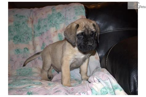 mastiff puppies near me mastiff puppy for sale near south bend michiana indiana c477377a 11a1