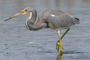 tri colored heron tricolored heron