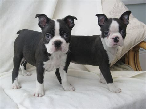 boston terrier puppies for sale stunning boston terrier pups for sale ready now swansea