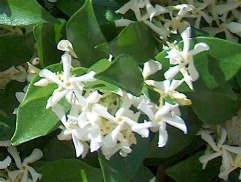 pianta con fiori bianchi molto profumati piante da vaso trachelospermum ryncospermum jasminoides