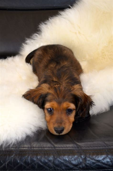How To Detox Melts In A Puppy by 17 Best Ideas About Miniature Dachshunds On