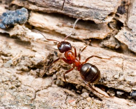 do little black ants bite how to get rid of ants in the