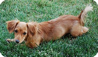 pomeranian and dachshund mix bull shih tzu mix breeds picture