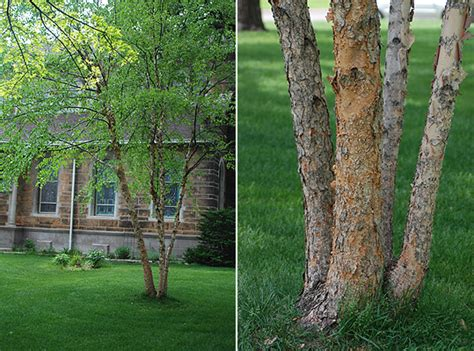 6 ft birch cluster tree betula nigra landscape plants oregon state