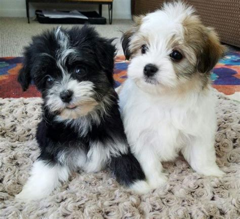 Do Puppies Shed by Currently Available Puppies Heavenly Havanese