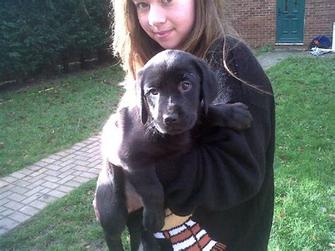 labrottie puppies for sale labrottie pups for sale st albans hertfordshire pets4homes