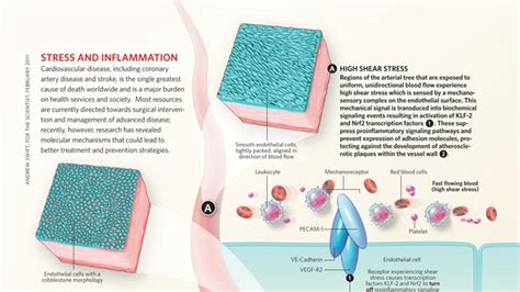 molecular mechanisms of atherosclerosis ebook stress and inflammation the scientist magazine 174