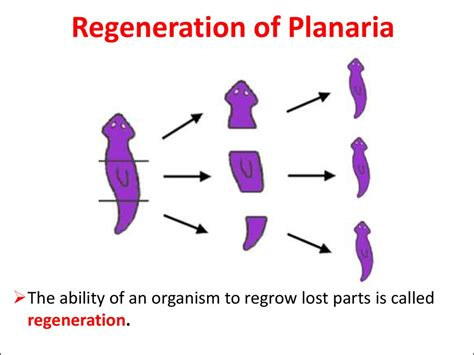 regeneration and pattern formation in planarians iii topic flatworms презентация онлайн