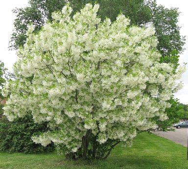 193 rvores de pequeno porte para jardim ideias para a casa small trees garden e