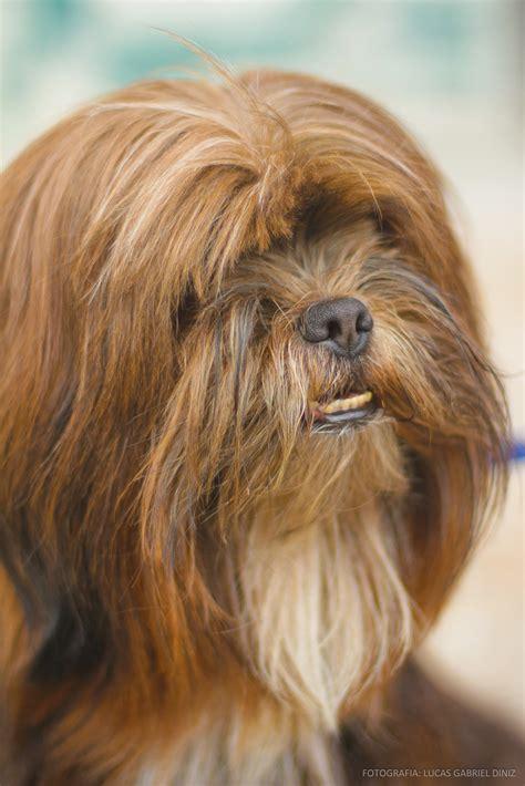 chewbacca puppy chewbacca lucas gabriel diniz flickr