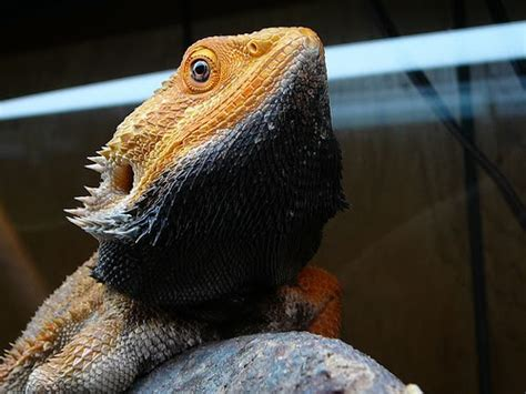 bearded color change bearded dragons can change the color their bodies on demand