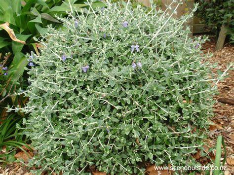 Topiary Bush - about garden design teucrium fruticans