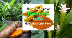Balcony Container Gardening - growing turmeric in pots how to grow turmeric care uses amp benefits balcony garden web