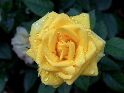significato fiori rosa il significato dei fiori rosa gialla le mie meraviglie