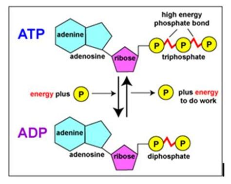 atp and other nucleoside triphosphates or: bonds rich in