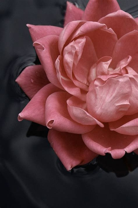 Theme Rose Iphone | pink rose hd iphone 4s wallpaper nature theme iphone 5s