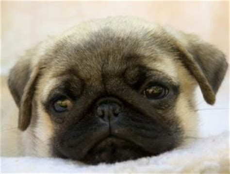 how does pugs live pugpugpug where do i get pug in illinois near chicago area