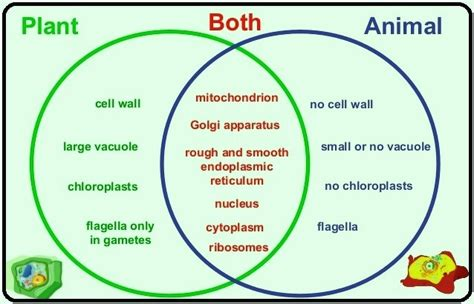 venn diagram animal and plant cells a venn diagram on plant and animal cell 10249667