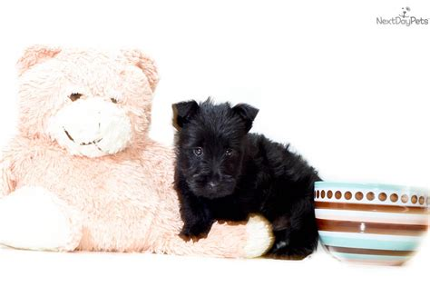 scottish terrier puppies for sale ohio meet wayne a scottish terrier puppy for sale for 295 wayne www affordablepup