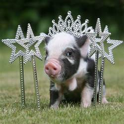 10 adorable micro pig photos photos image 2